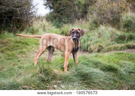 Rhodesian Ridgeback Dog Puppy outside on grass during her walk she his wearing a collar
