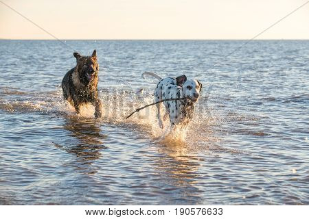 Two Dogs Playing And Running In The Sea Water