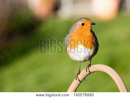 Tame And Friendly Robin