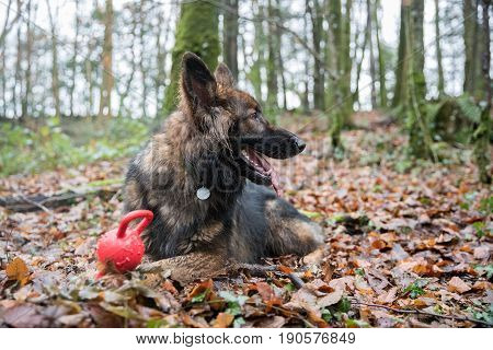 Big Dog Laid On Floor In Woods With A Toy