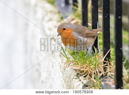 Robin Peering Down Over A Ledge