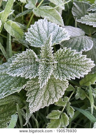 Vertical Shot Of A Frost Covered Stinging Nettle