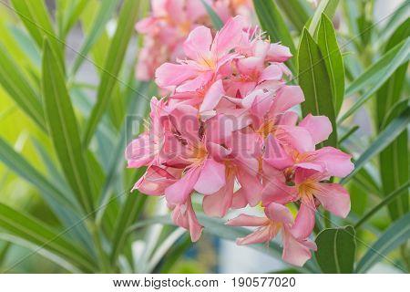 flower of a pink oleander Nerium oleander in the morning