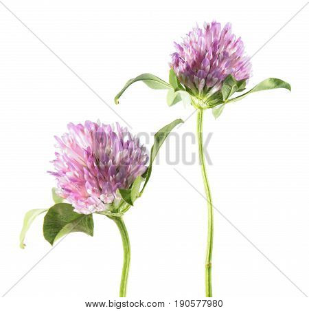 Red clover (Trifolium pratense) isolated on white background. Medicinal plant