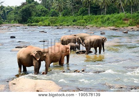 Elephants Bathing In The River. National Park. Pinnawala Elephant Orphanage. Sri Lanka,beautiful Sky