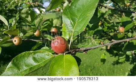 a juvenile apple ripening on a tree.