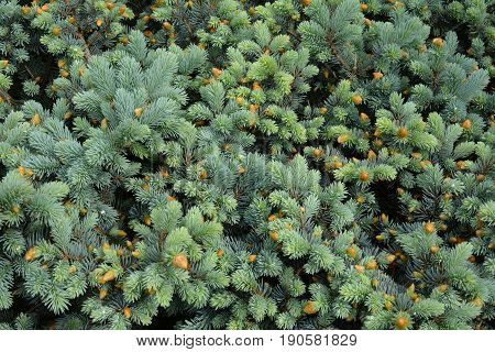 Young twigs of blue spruce. Background image of vernal spruce branches.