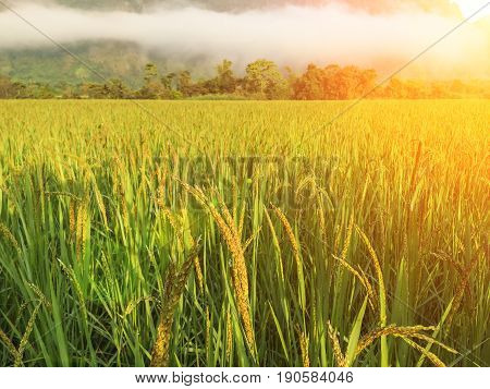 Rich field. natural and eco friendly material.recycle craft brown rice seed flower texture.Green ear of rice in paddy rice field.Rice field in sunset time. vegetarian.dry rice.asia.