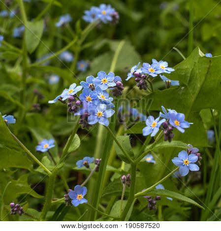 Forget-me-nots are small wildflowers of blue color. The center of the flower is yellow. Photographed with shallow depth of field.