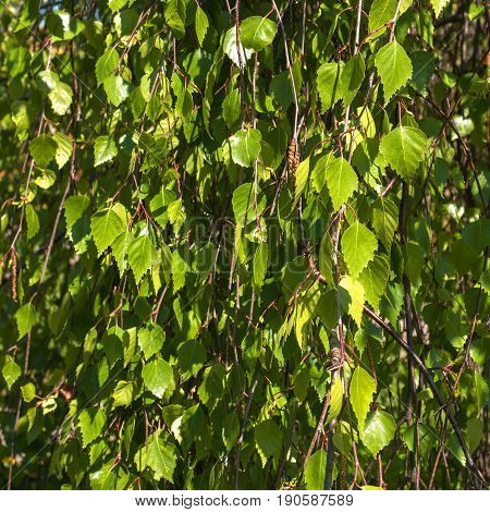 Betula pendula, commonly known as silver birch or warty birch, green leaves background. Carpet of fresh green birch leaves.