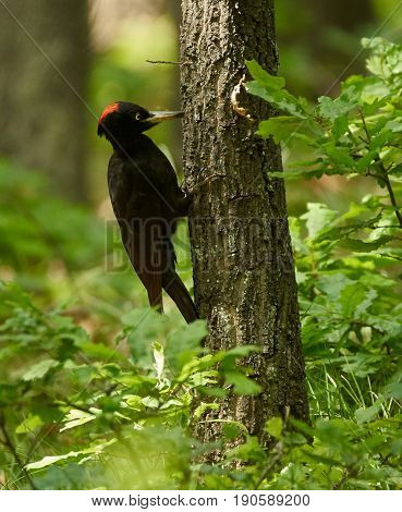Black Woodpecker In The Forest