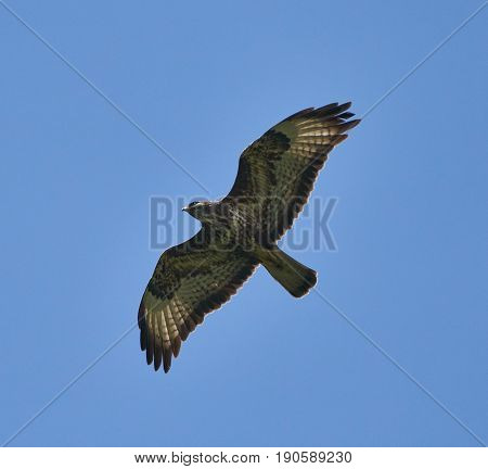 Hawk Gliding On Clear Sky