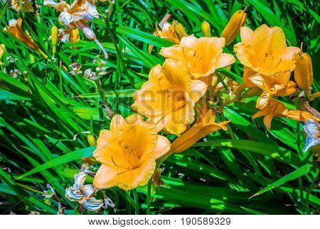 Yellow daylily blooming on spring morning Hemerocallis lilioasphodelus