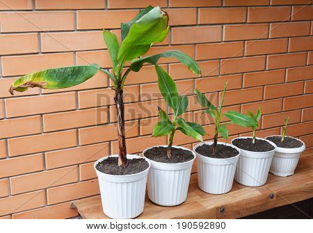 Growing Bananas - How To Grow Banana Plants. Transplant Flowers In Pots. Banana plant Banana trees banana plants banana trees.
