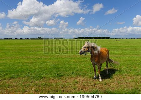 A young pony facing the wind. Early summer in Friesland, highlighting the emptiness of the landscape