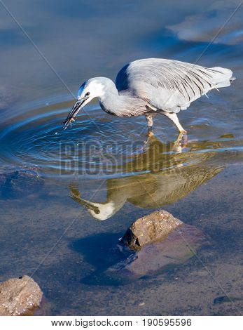 White-face heron with a crab that is has catch in it bill.