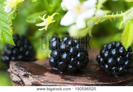 Berry ripe fresh blac kberry in green grass