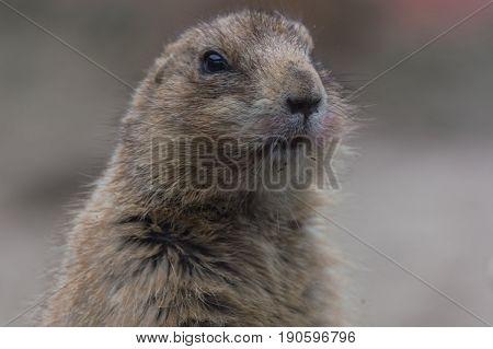 Meerkats or Surikates. Close up of a watchful meerkats.