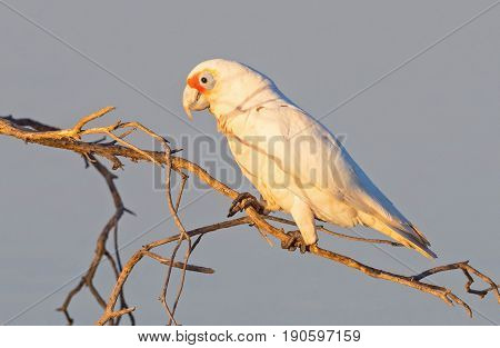 The Western Corella (Cacatua pastinator), formerly known as the Western Long-billed Corella, is a species of white cockatoo endemic to south-western Western Australia.