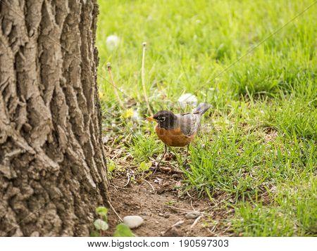 American Robin Hunting Worms