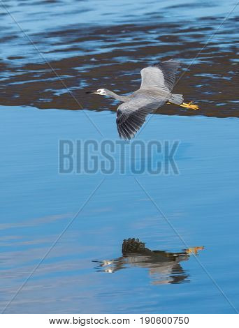 Wingspan of White-face heron as it glides over flat blue waters.