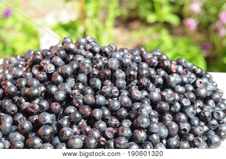 Blueberry called bilberry huckleberry or European blueberry with black color. Forest Blueberry textured background. Freshly picked wild blueberries. Wild Blueberry Photo.