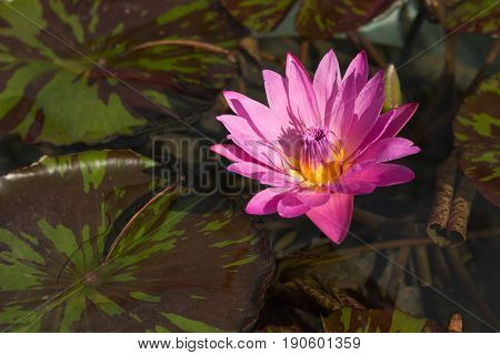 Beautiful blooming flower nymphaea - pink waterlily - aquatic vegetation water plants