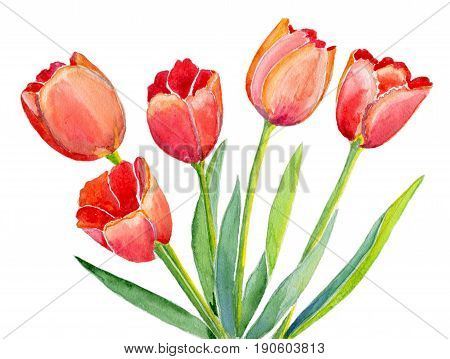 Five red tulips with leaves isolated on white background, hand-painted watercolor illustration and paper texture