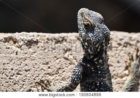 Agama Hardun lizard head on the island of Rhodes