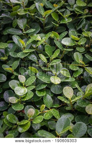 Green Leaves Of A Climbing Plant