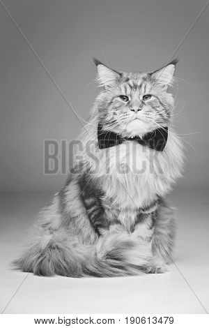 beautiful big maine coon cat with black bow tie. Copy space. Studio shot on grey background. Monochrome.
