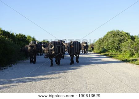 African Buffalo, Addo Elephant National Park