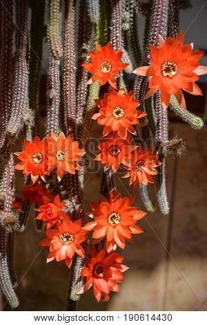 Flowers of Rats Tail Cactus in summer