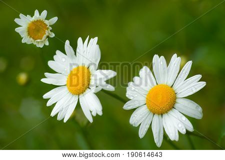 Chamomile or camomile flowers with drops of water on natural green background