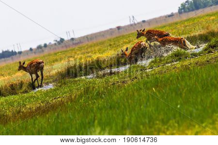 A Flock Of Sika Deer Jumping Across The River