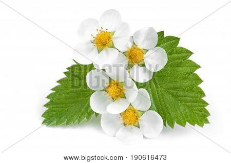 White flowers of Strawberries with leafs on the white