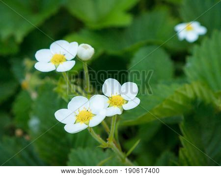 strawberry flowers on the stem. Blooming strawberry flowers. strawberry flowers on the stem