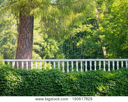Wall with wild grapes and white railing against the background of green trees