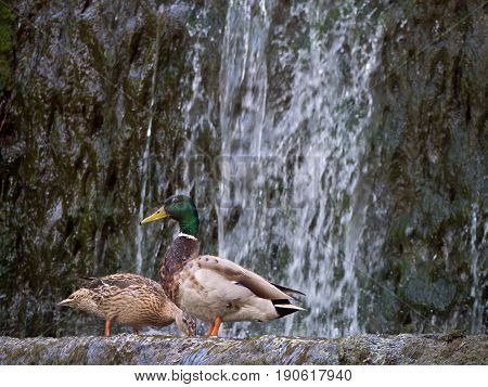 Pair mallard ducks extracting food at the water in the waterfall