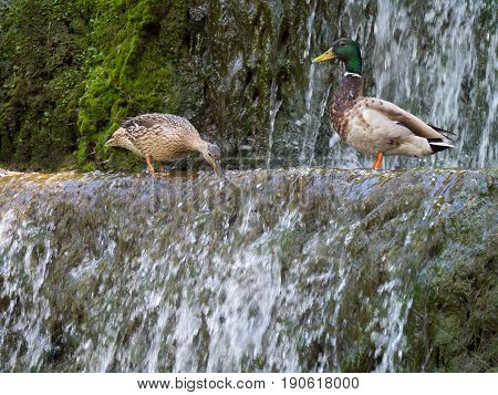 Couple mallard ducks Looking for food at the water in the waterfall