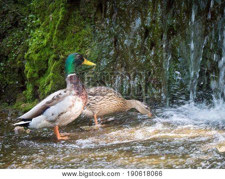 couple mallard ducks eating in the water near waterfall