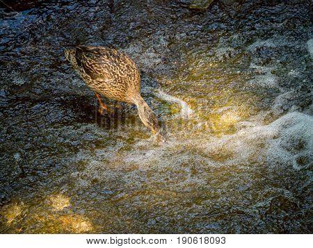 female mallard duck eating in the water near waterfall