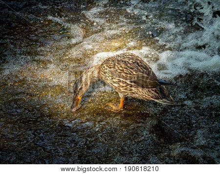 female mallard duck having breakfast on a stone near a waterfall