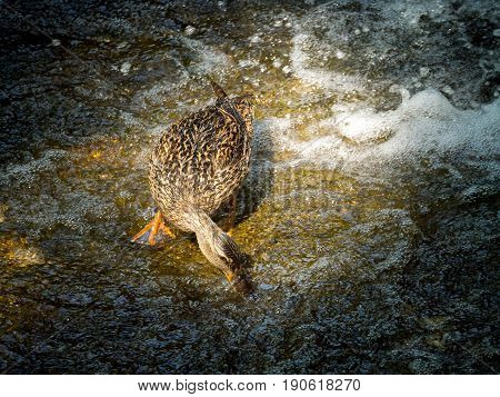 The female duck extracting food at the water in the waterfall