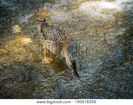 female mallard duck bird in search of food on a stone near a waterfall