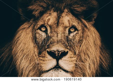 Dramatic portrait lion. Dominant face lion - big king animal.