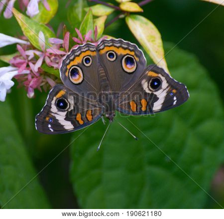 Common Buckeye Butterfly on Flower in Garden