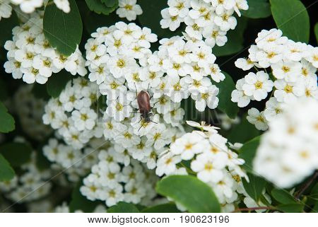 Brown beetle sits on blossoming white flowers with green leaves