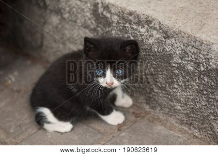 beautiful black and white little kitten with blue eyes sitting near the wall