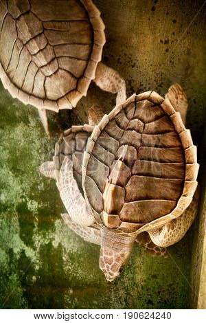 Two swiming turtles. Texture of Turtle carapace